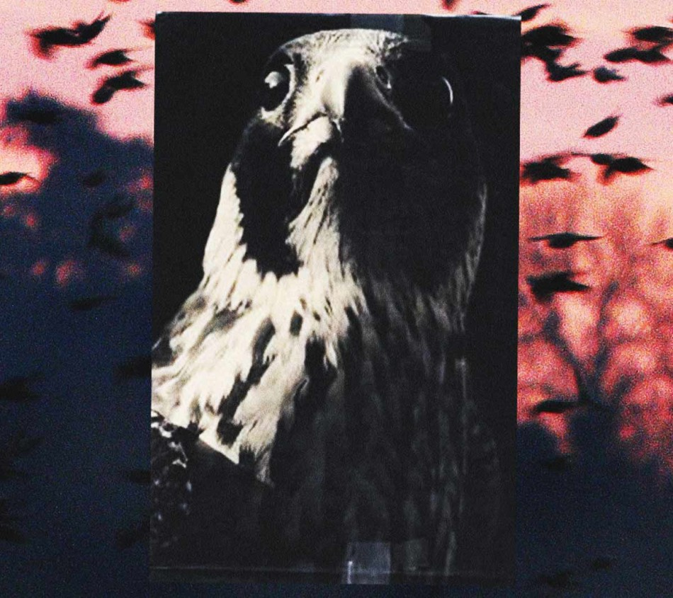 The Peregrine, The Peregrine baker, The Peregrine ja baker, El Peregrino baker Herzog, El peregrino libro, The Peregrine book, peregrine falcon, peregrine falcons, falco peregrinus calidus, falcó pelegrí,